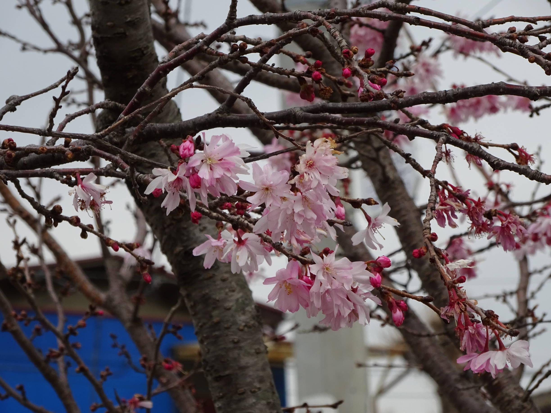フユザクラ?(十月桜?)